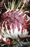 CICORIA Rossa di Chioggia 5 Sel. Otello (tardivo)