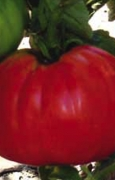 POMODORO Red Pear Sel. Gigante del Vomano