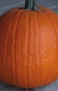 ZUCCA Howden (di Halloween) (Cucurbita pepo)