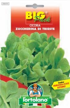 CICORIA Zuccherina di Trieste