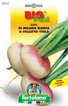 RAPA di Milano bianca a colletto viola