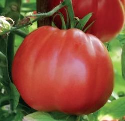 POMODORO Sat 16314 F1 (tipo Red Pear)