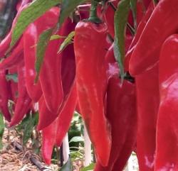 PEPERONE DOLCE Sat 18045 F1 (Corno Rosso)