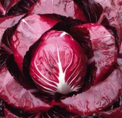 CICORIA Rossa di Verona Sel. Cologna Precoce