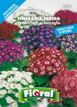 CINERARIA IBRIDA Grandiflora in miscuglio