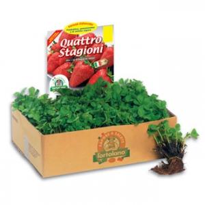 Produzione e vendita fragola piante in mazzi vasta for Piante fragola vendita